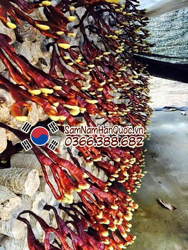 Nấm linh chi sừng hươu Hàn Quốc 500g 100% từ thảo mộc thiên nhiên