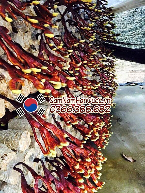 công dụng Nấm linh chi sừng hươu Hàn Quốc