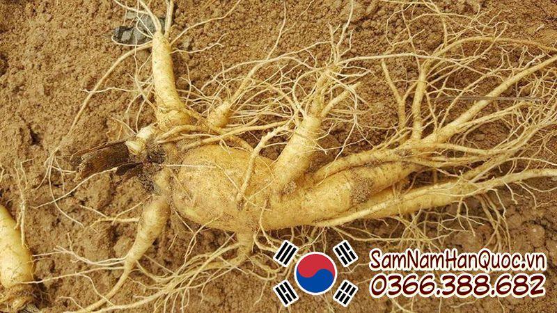 Nhân sâm tươi Hàn Quốc 1 củ 1 ký