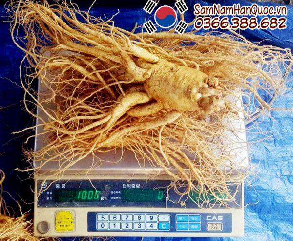 Sâm tươi Hàn Quốc 1 củ 1kg - Giá nhân sâm tươi 1 củ