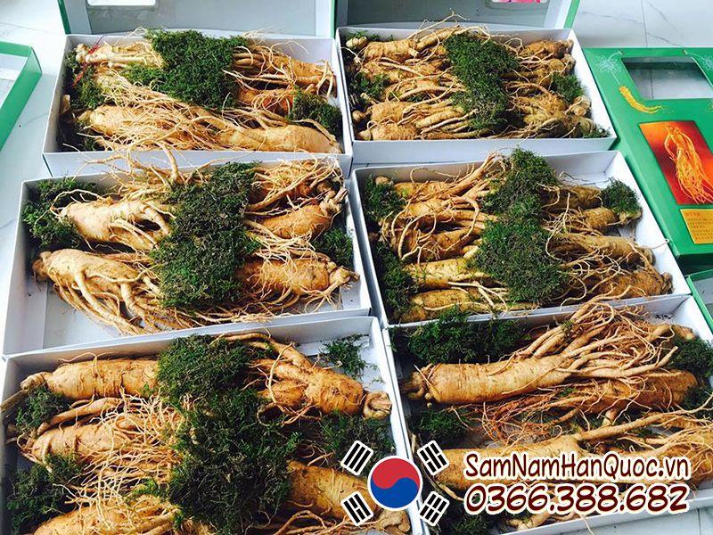 Tác dụng sâm tươi Hàn Quốc 5 củ 1kg