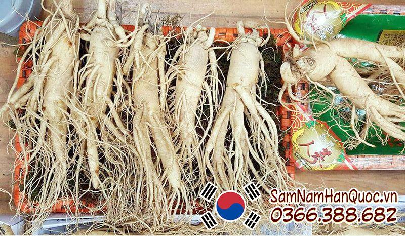 Sâm Tươi nhập khẩu Hàn Quốc 5 củ 1kg