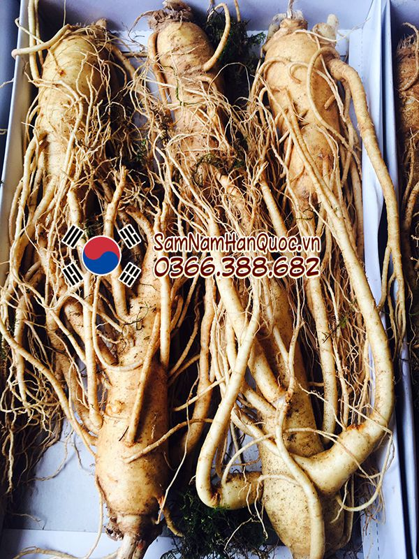 nhân sâm tươi Hàn Quốc 5 củ 1 cân
