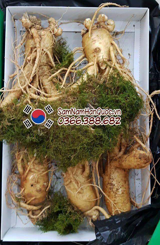 Sâm Hàn Quốc tươi 5 củ 1kg