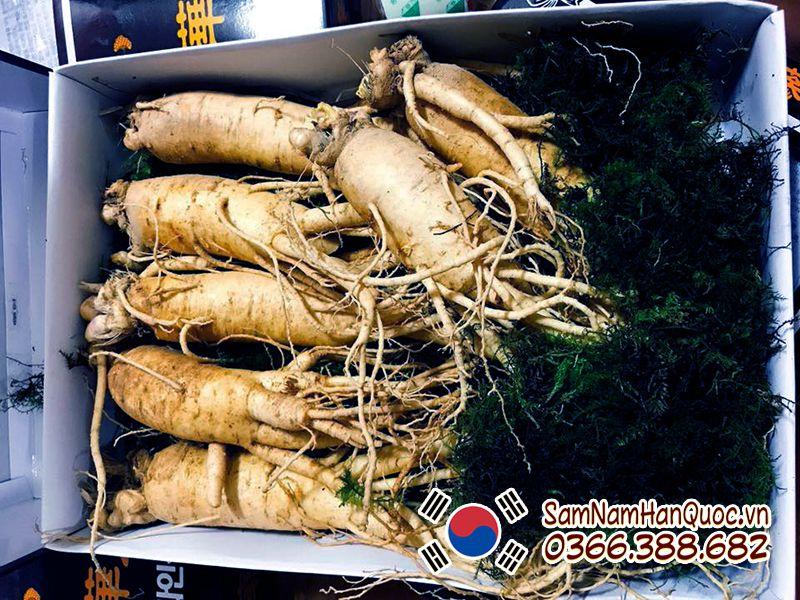 Công dụng sâm tươi Hàn Quốc 7 củ 1kg