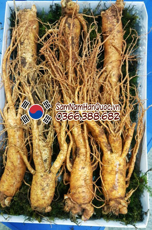 Địa chỉ bán sâm tươi Hàn Quốc 7 củ 1kg