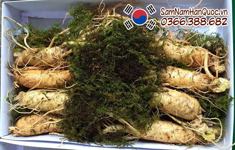 tác dụng của sâm tươi Hàn Quốc 8 củ 1kg
