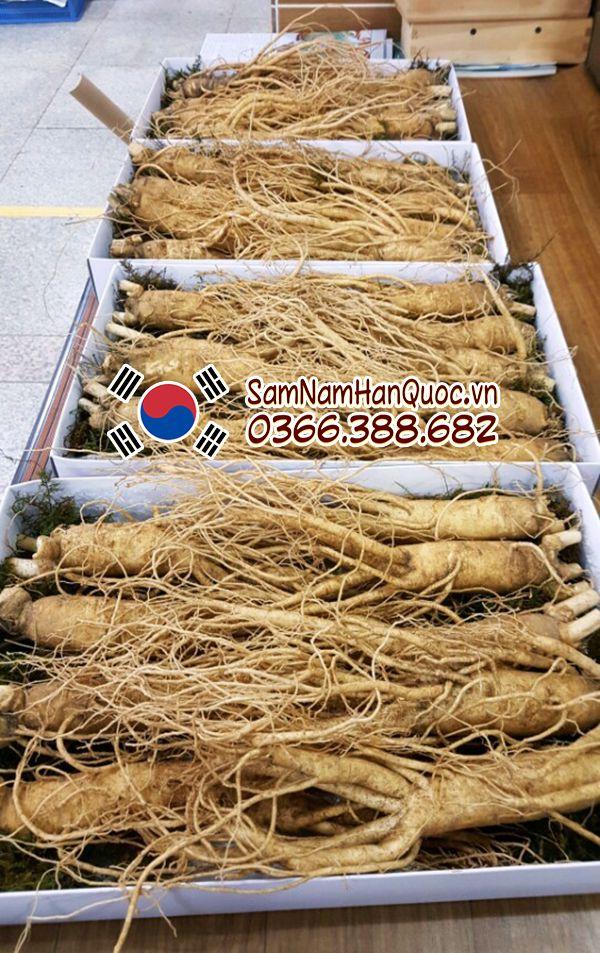 Địa chỉ mua sâm tươi Hàn Quốc 9 - 10 củ 1kg