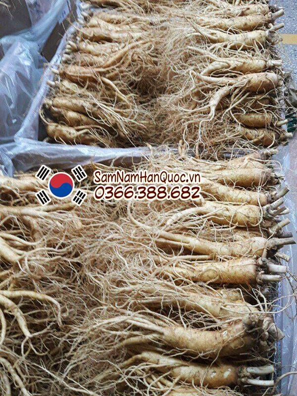 Sâm hầm gà 1kg - Nhân sâm tươi Hàn Quốc làm nguyên liệu hầm gà