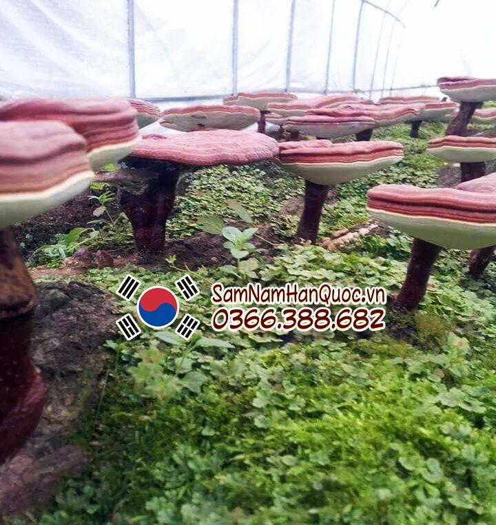 Cách phân biệt Nấm linh chi Hàn Quốc và Trung Quốc