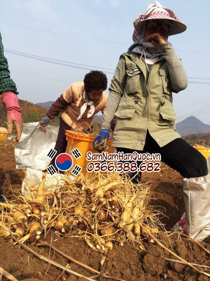 Hình ảnh thực tế tại mùa thu hoạch nhân sâm Hàn Quốc 2016