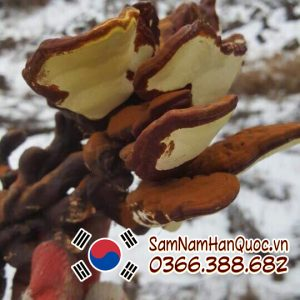 Nấm linh chi đỏ núi đá Gana Hàn Quốc mát gan giải độc cơ thể