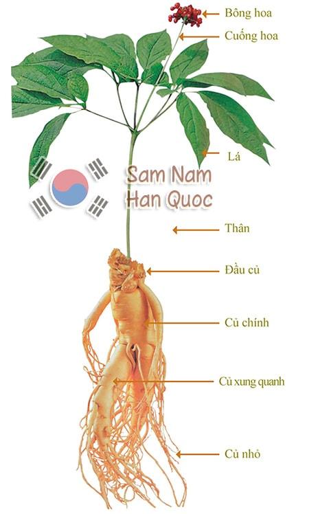 Các bộ phận của cây nhân sâm Hàn Quốc