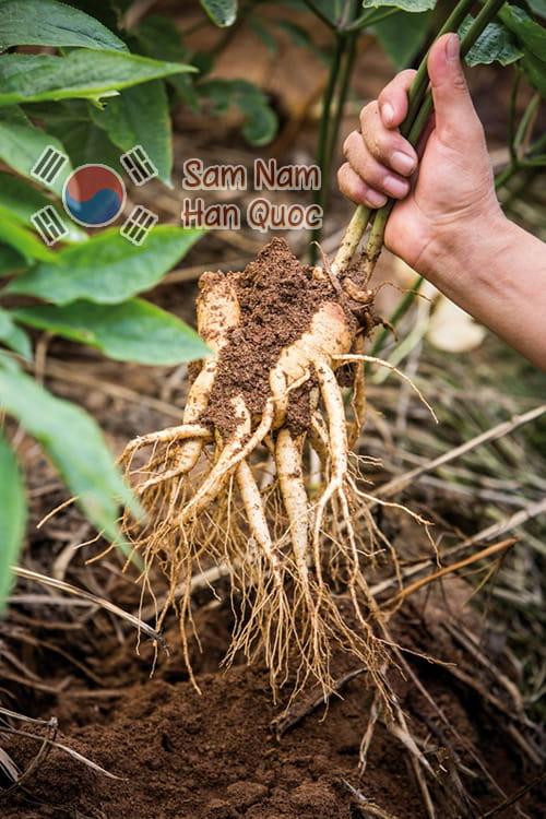 Sâm tươi sau khi nhổ tại nông trại thường bám cả đất cát