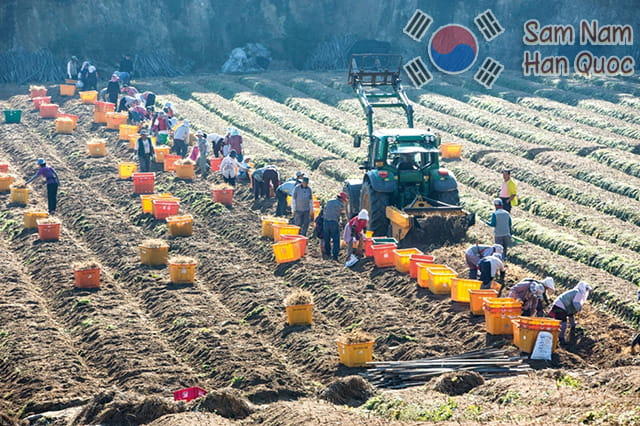 Cận cảnh thu hoạch nhân sâm đông vui như đi lễ hội của người dân Hàn Quốc