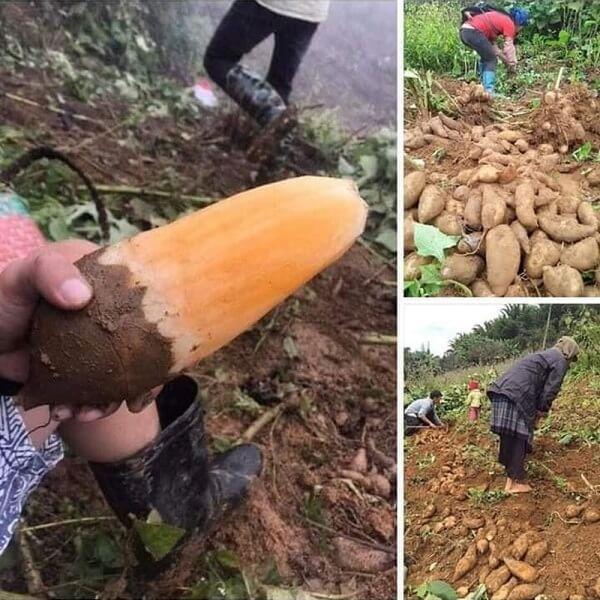 Củ sâm đất là đặc sản nổi tiếng của Lào Cai