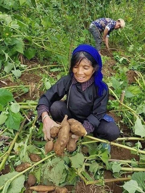 cảnh thu hoạch cây sâm đất tự nhiên của đồng bào Y Tý - Lào Cai