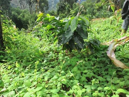 Sâm dây Ngọc Linh là sâm dây trồng nở núi Ngọc Linh - Kontum