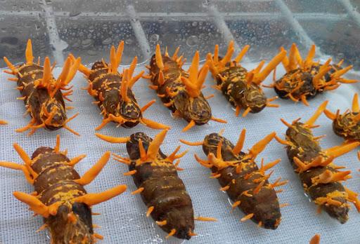 Phương pháp nuôi cấy đông trùng hạ thảo Việt Nam