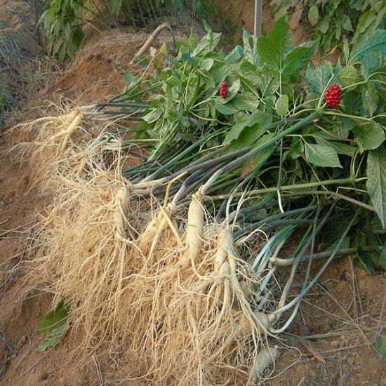 Cây sâm Cao Ly tương đối giống cây sâm Hàn Quốc