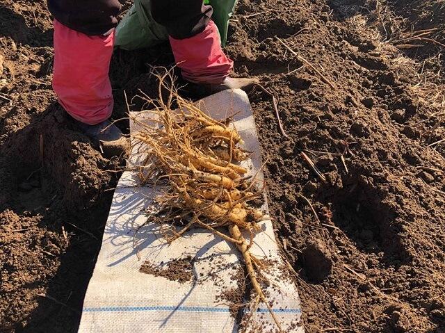 Cách trồng cây nhân sâm Triều Tiên