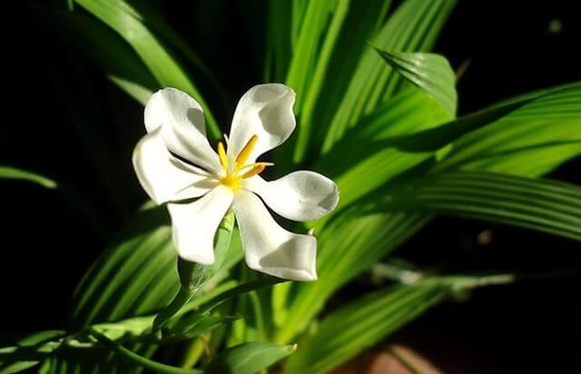 Hoa cây sâm đại hành