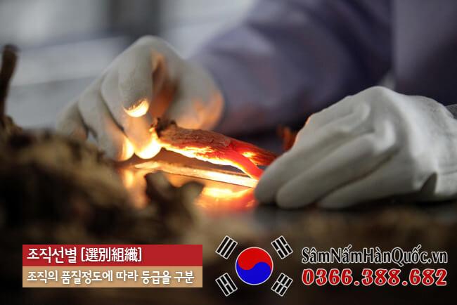Thiên Sâm Hàn Quốc là gì? Tác dụng, Cách dùng & Giá cả
