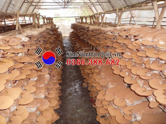 Mô hình trồng nấm linh chi