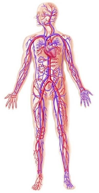 Tác dụng của nấm linh chi tới hệ tuần hoàn
