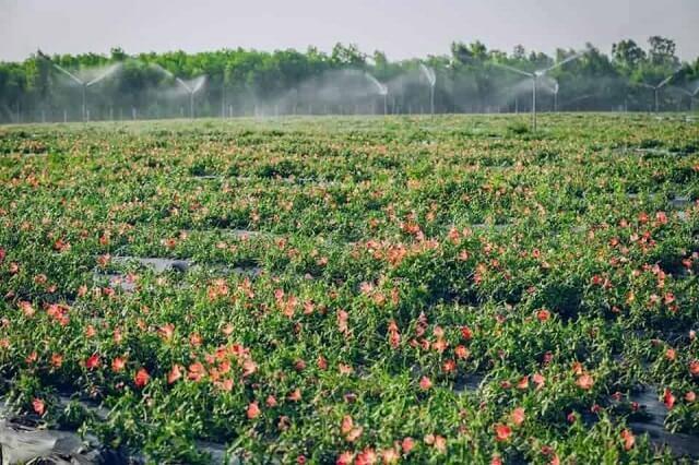 Sâm Bố Chính được tìm thấy ở Châu Bố Chính, Quảng Bình