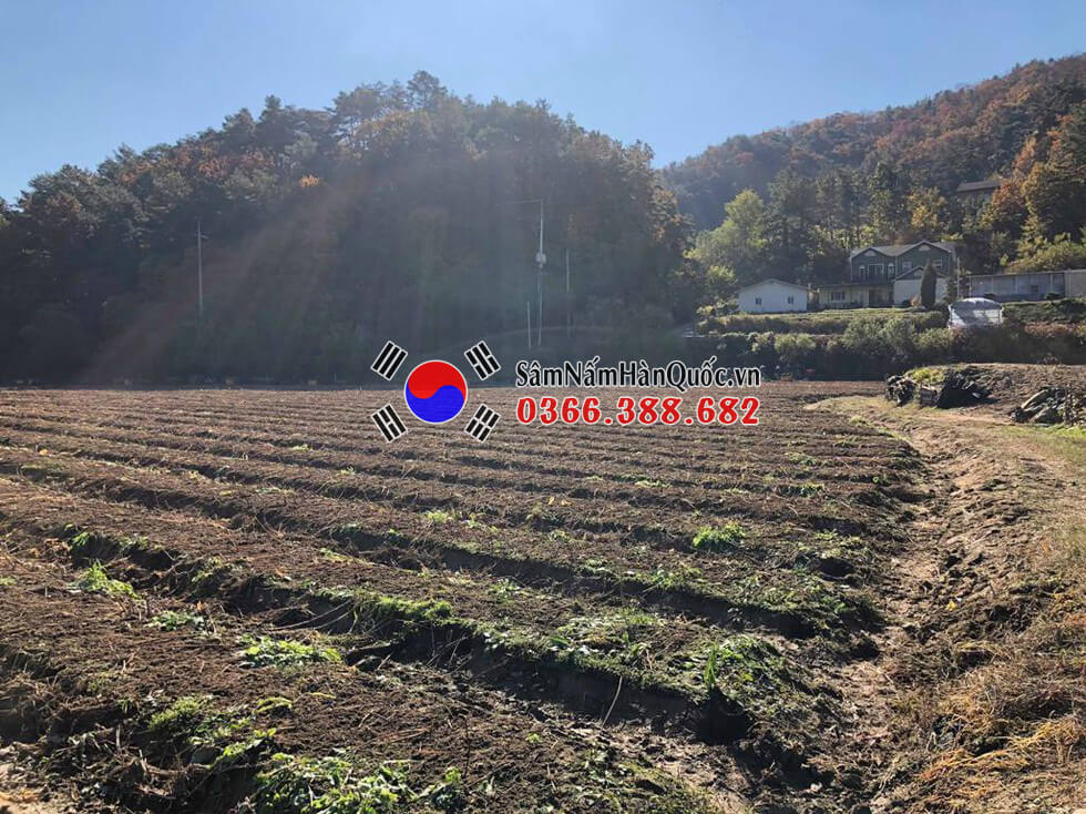 Mùa thu hoạch Nhân sâm tươi Hàn Quốc 2020